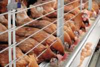 How To Start Poultry Farming In Nigeria (Business Plan) for Free Poultry Business Plan Template